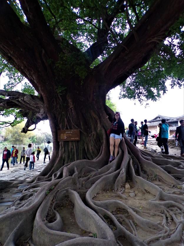 Big ol'banyan tree